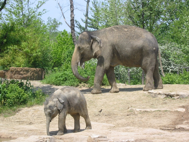 Elephants at St. Louis Zoo, by Eric Kilby