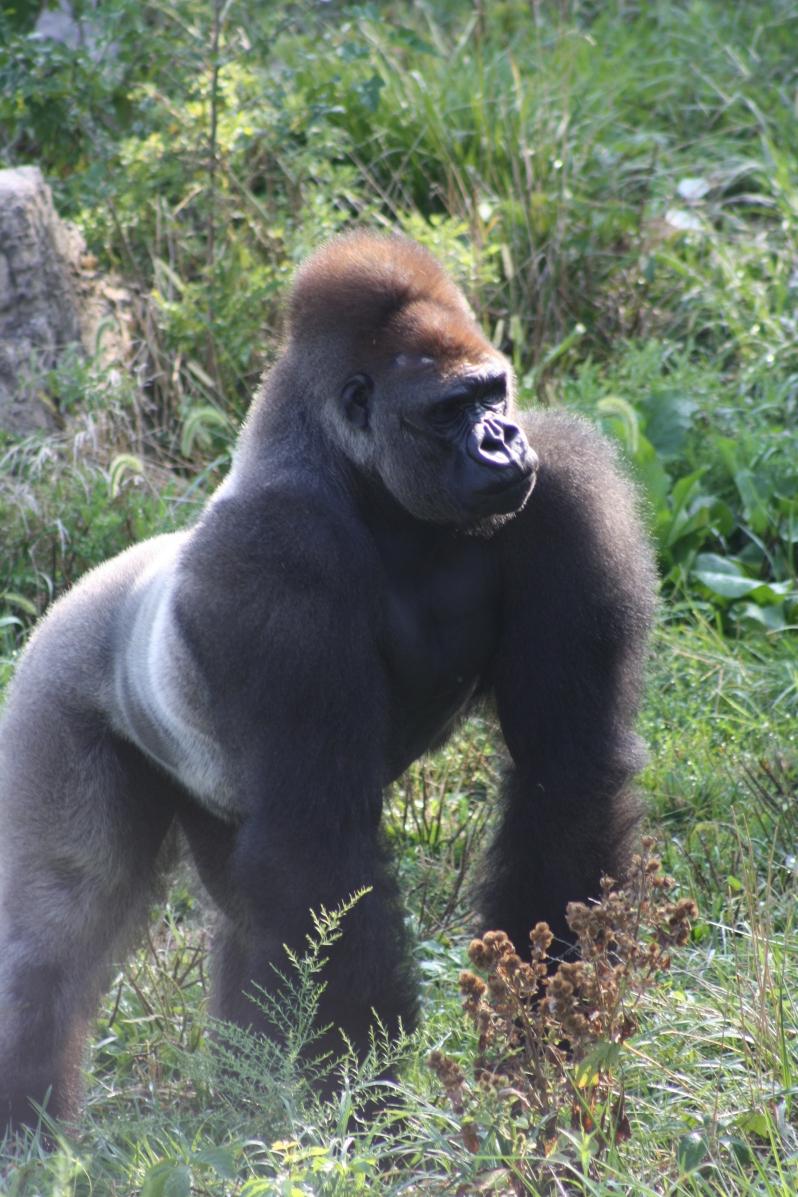 Goodnight Gorilla at St. Louis Zoo, by Rob Bulmahn